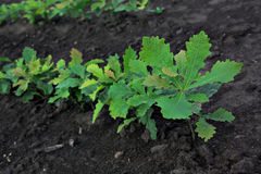 O broto do carvalho em um close up do potenciômetro de flor fotos de stock royalty free
