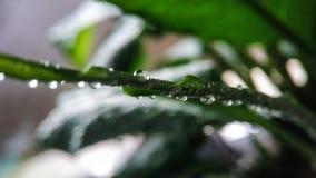 O broto novo verde de um spathiphyllum da planta na água deixa cair o close-up para a tampa, fundo fotografia de stock royalty free