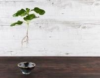 O broto verde suspendeu no ar - conceito vivo sustentável Fotografia de Stock Royalty Free