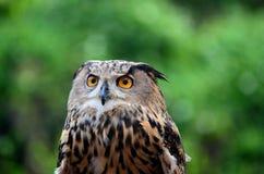O bubão euro-asiático ou do europeu de Eagle da coruja do bubão olha fixamente atentamente Foto de Stock Royalty Free
