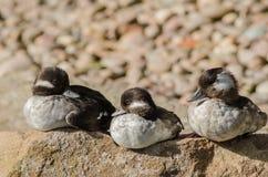 O Bufflehead ducks (o albeola do Bucephala) fotografia de stock