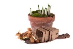 O bulbo da mola floresce, pá de pedreiro velha isolada no branco Imagem de Stock