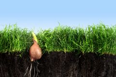 O bulbo de flor com broto está crescendo acima nos wi do gramado da grama verde Imagem de Stock Royalty Free