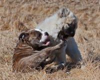 O buldogue do cachorrinho e o cachorrinho Eurasier jogam na praia foto de stock royalty free
