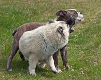 O buldogue do cachorrinho e o cachorrinho Eurasier jogam na praia foto de stock