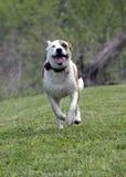 O buldogue do pugilista misturou o cão da raça que corre em um campo Imagens de Stock