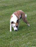 O buldogue do pugilista misturou o cão da raça que corre em um campo Fotografia de Stock