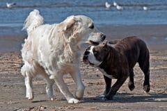 O buldogue e os perdigueiros dourados jogam na praia foto de stock royalty free