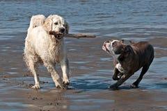 O buldogue e os perdigueiros dourados jogam na praia imagens de stock royalty free