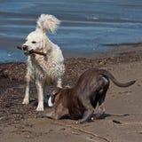 O buldogue e os perdigueiros dourados jogam na praia fotografia de stock