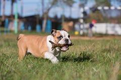 O buldogue inglês do cachorrinho leva uma vara em sua boca Fotografia de Stock