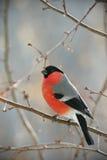O Bullfinch empoleirou-se em uma filial Foto de Stock Royalty Free