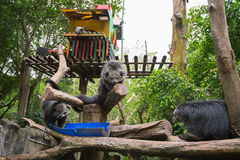 O bunurong três que senta-se na árvore em uma gaiola e come fotografia de stock