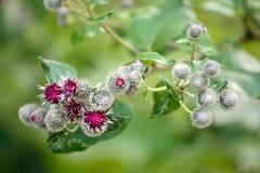 O Burdock floresce (o arctium menos) Fotos de Stock Royalty Free