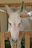 O burro em uma tenda Imagem de Stock Royalty Free