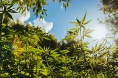 O cânhamo agrícola selvagem cresce no campo Foto de Stock