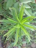 O cânhamo nepalês pode referir algumas de várias plantas do rolamento da fibra imagens de stock royalty free