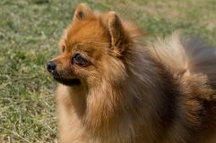 O cão é amarelo, no perfil Pigmeu alemão pomeranian imagem de stock