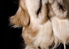 O cão é piegas baba Fotografia de Stock Royalty Free