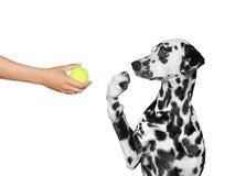 O cão é surpreendido ver a bola Imagens de Stock
