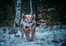 O cão é um malamute do Alasca fotografia de stock