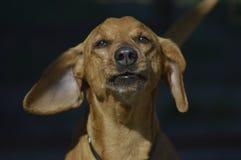 O cão Foto de Stock Royalty Free