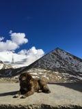 O cão agachou-se na frente da montanha da pirâmide Fotografia de Stock
