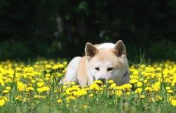 O cão, Akita Inu encontra-se em um glade Fotos de Stock Royalty Free