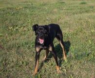 O cão amigável pequeno - um pinscher, jogos na caminhada Fotos de Stock Royalty Free