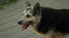 O cão anda através do parque do verão, jogando para fora a língua do calor Movimento lento video estoque