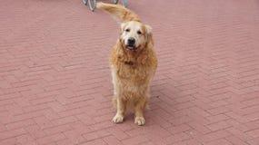 O cão, animais, bonitos, lãs, cão olha, animal de estimação Foto de Stock Royalty Free