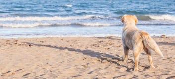 O cão apenas na areia da praia que olha para fora ao mar Fotos de Stock Royalty Free