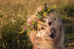 O cão areia-colorido desgrenhado dobrou seus cabeça e olhares interessado no fotógrafo fotos de stock