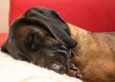 O cão bávaro está colocando como um ser humano imagens de stock
