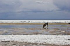 O cão bebe a água da poça Fotos de Stock Royalty Free