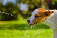 O cão bebe a água, pulverizador Foto de Stock Royalty Free