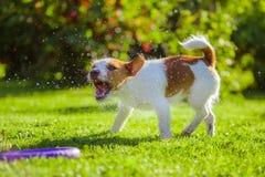 O cão bebe a água, pulverizador Imagens de Stock