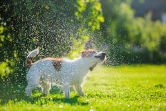 O cão bebe a água, pulverizador Imagens de Stock Royalty Free