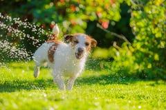O cão bebe a água, pulverizador Fotos de Stock