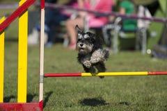 O cão bonito compete na agilidade Foto de Stock