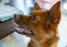 O cão bonito está na casa Foto de Stock