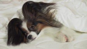 O cão bonito Papillon encontra-se sob a cobertura na cama e os olhares em torno do vídeo conservado em estoque da metragem vídeos de arquivo