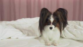 O cão bonito Papillon na cama rasteja para fora de debaixo do vídeo conservado em estoque geral da metragem filme
