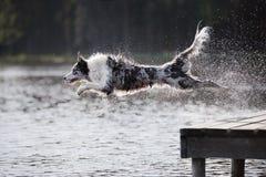 O cão border collie salta no rio Imagem de Stock Royalty Free