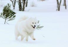 O cão branco alegre do Samoyed corre na floresta do inverno imagens de stock
