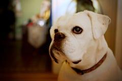 O cão branco bonito do pugilista olha fora da câmera pensativamente fotos de stock