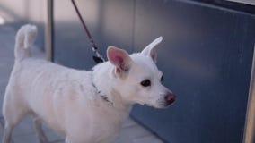 O cão branco bonito lambe seus bordos, sendo amarrado perto da loja e esperando seu mestre Animais maravilhosos video estoque
