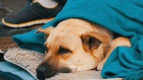 O cão branco da pessoa desabrigada, coberto com uma cobertura azul, encontra-se na rua Um cão disperso, coberto com um véu video estoque