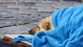 O cão branco da pessoa desabrigada, coberto com uma cobertura azul, encontra-se na rua Um cão disperso, coberto com um véu vídeos de arquivo