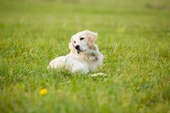 O cão branco do golden retriever do cachorrinho coloca no meio do campo coberto grama fotografia de stock